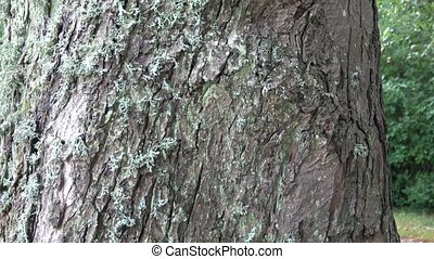 Lichens on the tree bark, Lichens are symbiotic fungi and...