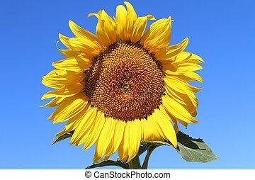 licht, mooi en gracieus, op, zonnebloem, het ontwaken