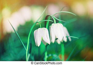 licht, twee, kleuren, prachtig, witte bloemen