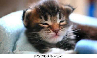 Licked black Maine Coon kitten. 1920x1080