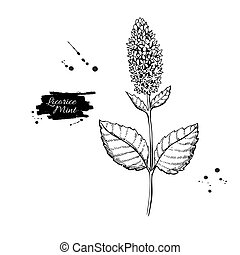 Licorice Mint vector drawing. Hand drawn herb sketch. Botanical medical plant engraving.