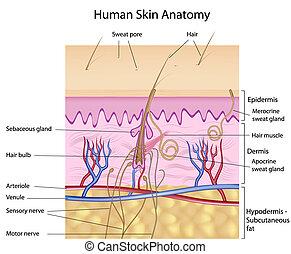 lidská bytost oloupat kůi, anatomie