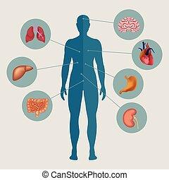 lidské tělo, s, vnitřní orgány