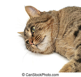 lie cat isolated on a white