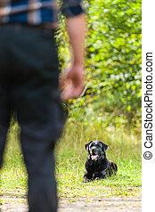 Lie down - Dog owner trains his labrador retriever, dog lie ...