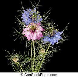 liefde-in-een-mist, nigella, vrijstaand, black , damascena, aka, bloemen