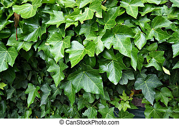 lierre, feuillage vert, (hedera).