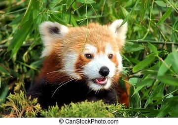 Lieve panda / sweet red panda - Lieve kleine panda kijkt...