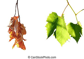 life and death concept, green and faded wineyard leafs isolated over white, contrast