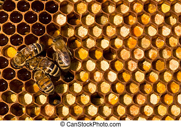 Life and reproduction of bees - Right in the comb is...
