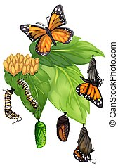 Life cycle of butterfly on white background