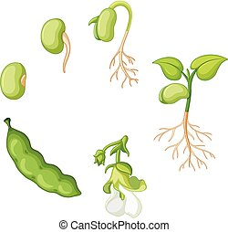 Life cycle of green bean