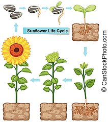 Life cycle of sunflower plant