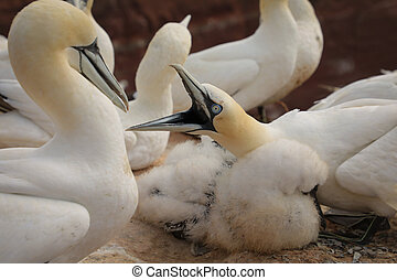 Life in a colony of Northern Gannet on a German island