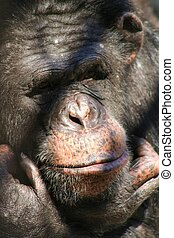 Life in cage  - Chimpanzee in an old cage