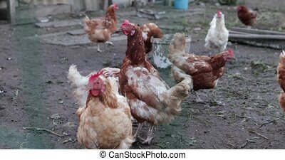 life in the chicken coops on the farm