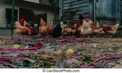 Life in the henhouse. Hens and roosters in the henhouse time...