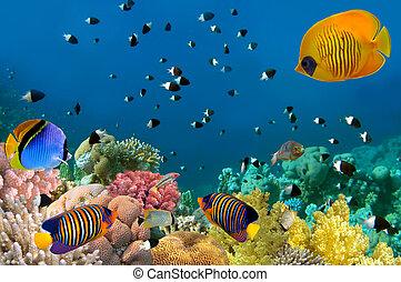 life., mar, marina, rojo, egypt.