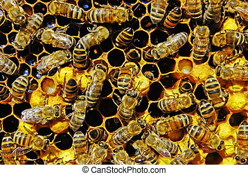 From the eggs postponed an uterus worms grow at first. They are well visible in lower honeycombs (cells). Since they will attain certain development, bees close honeycombs waxen lids. In 21 day a young bee will gnaw through a waxen lid and will go out outside.