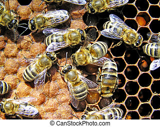 Set aside in honeycombs by the uterus of egg, young (those, that does not yet fly) bees feed during a few days. Eggs in course of time transform in cher'vey. It is later than a cell closed by waxen lids (on a picture on the left). In 21 day of lid is bitten in and a young bee goes out from a cell. ...