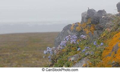 Life of polar desert: tiny bright flowers shivering on wind in fog