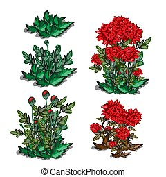 Life stages of red flower isolated on white background. Vector cartoon close-up illustration.