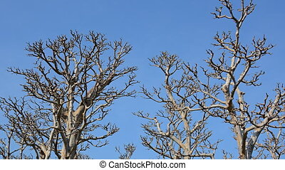 Lifeless Trunks and Branches of Trees against a Blue Sky