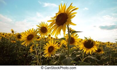 lifestyle beautiful sunflower Helianthus field of yellow...