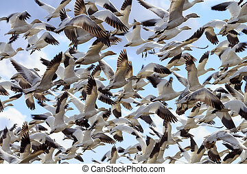 Lift Off Hunderds of Snow Geese Taking Off Flying