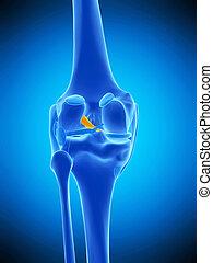 ligament cruciate antérieur