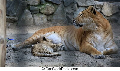 Liger with her young cub.