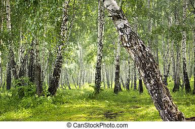 liget, forest., nyírfa