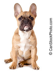 light brown french bulldog before white background