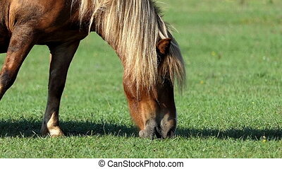 Light brown horse grazes grass on a lawn in slow motion