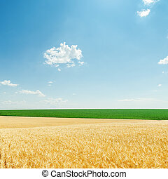 light clouds and fields with golden harvest and green plants