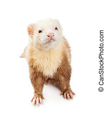 Light Color Ferret Looking Up