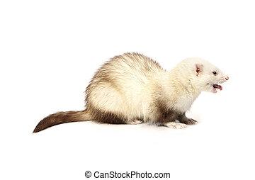 Light color ferret on reflective white background - Ferret...