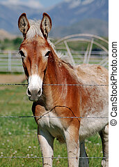Light Colored Mule - Light colored mule standing at barb ...