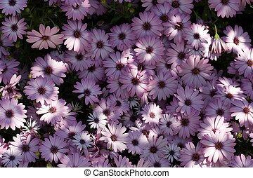 Light dappled purple daisies