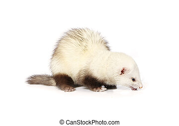 Light ferret on reflective white background - Ferret on...