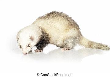 Light fur ferret on reflective white background - Ferret on...