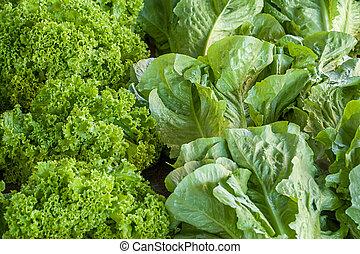 Light green lettuce leaves, farmers market, Turkey