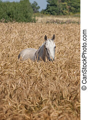 Light grey horse