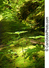 Light in the forest - verdant forest floor on the Olympic...