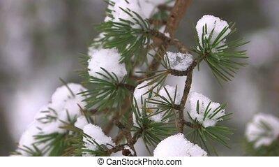 Light lumps of last snow on spruce