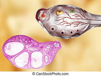 Light micrograph and illustration of ovary - Transverse...