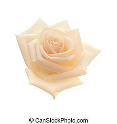 light pink and yellow rose
