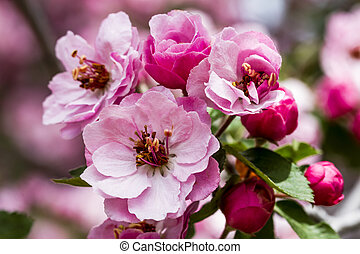 Light Pink Crab Apple Tree Blooms - Close up of light pink...