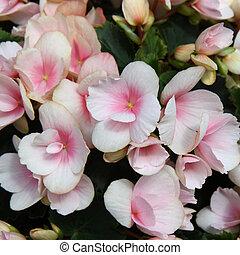 Light pink flowers of tuberous begonias