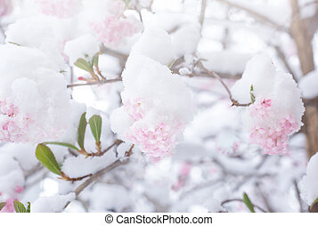 Light pink lilac flowers after snowy weather